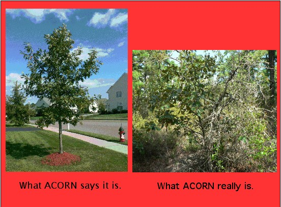 the_real_acorn